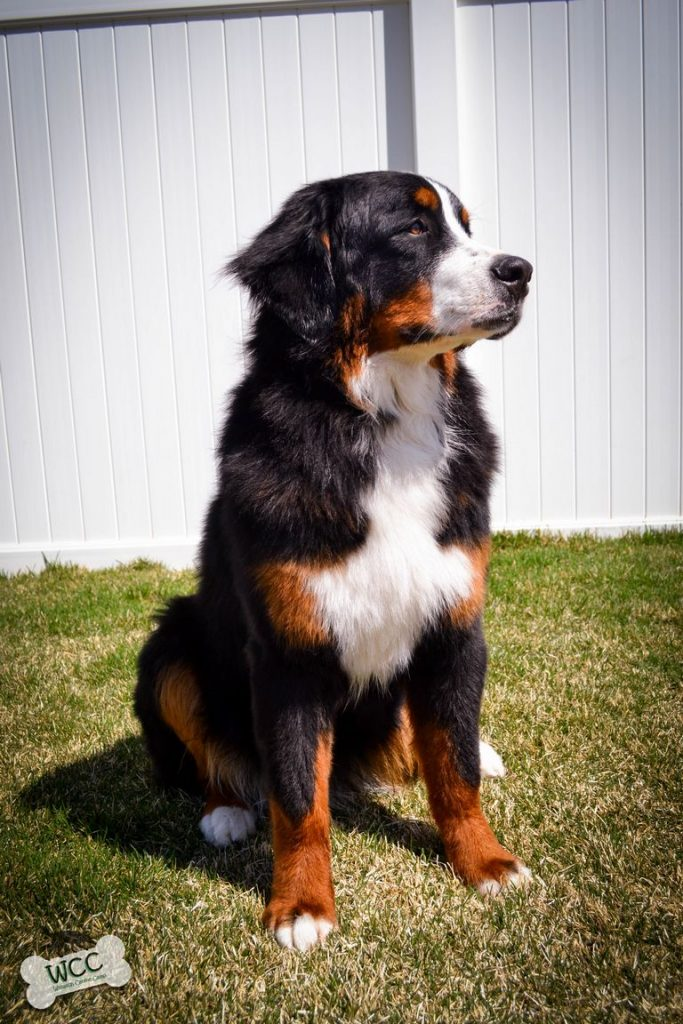 2 Year Old Bernese Mountain Dog For Sale