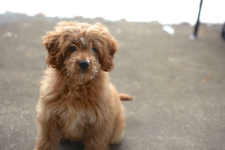 2 Year Old Goldendoodle For Sale | Top Dog Information