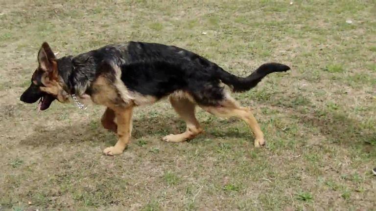 5 Month Old German Shepherd Weight