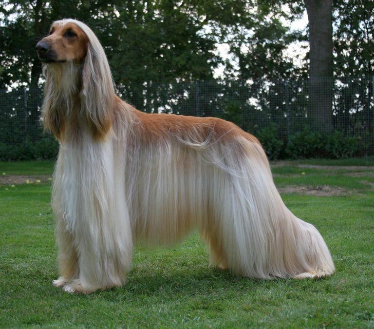 Afghan Hound Dog Breeds