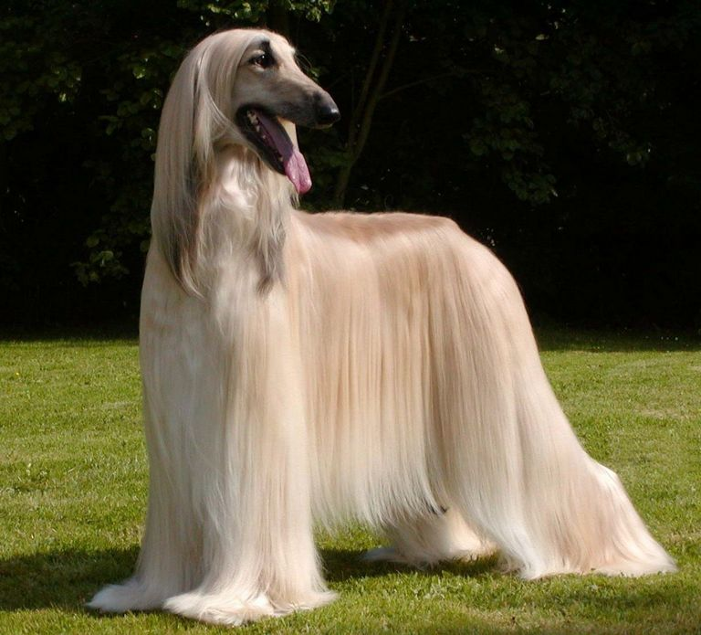 Afghan Hound Dogs Long Hair