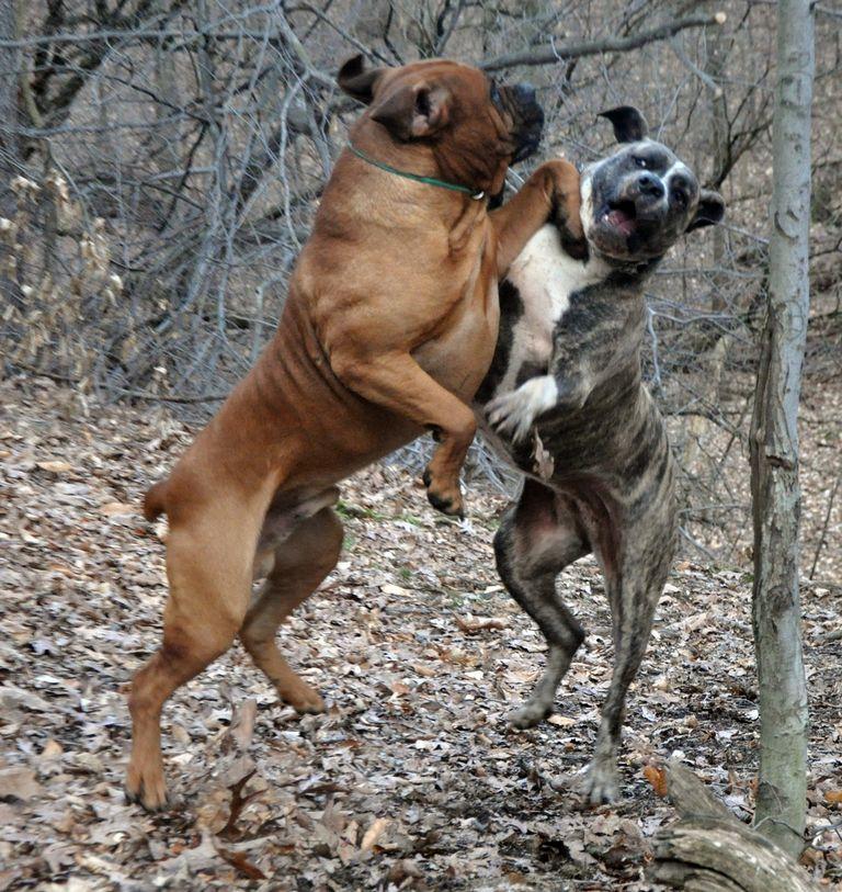 African Boerboel Rescue | Top Dog Information