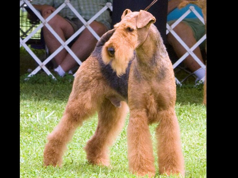 Airedale Puppies For Sale California