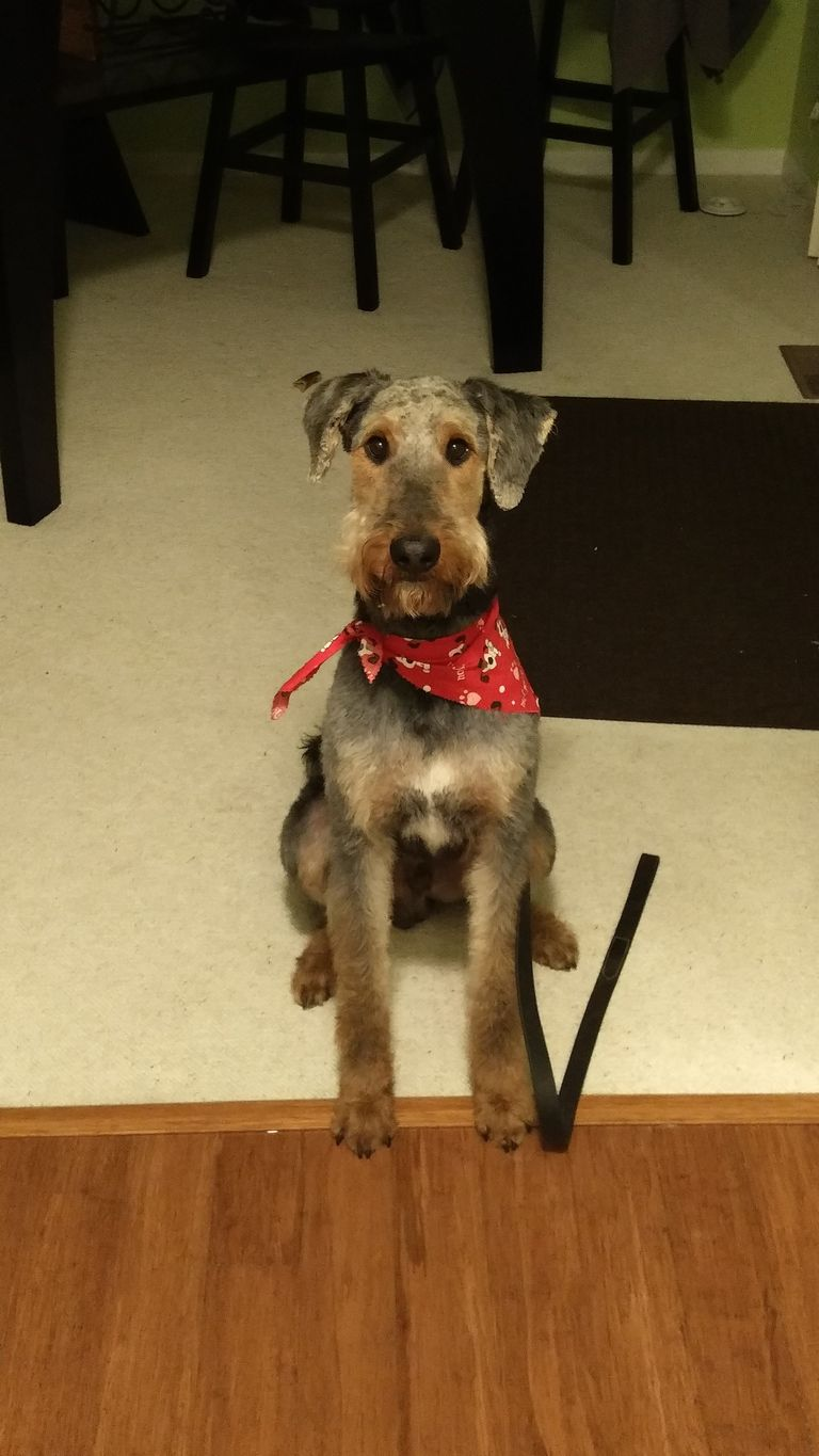 Airedale Puppies For Sale In Michigan