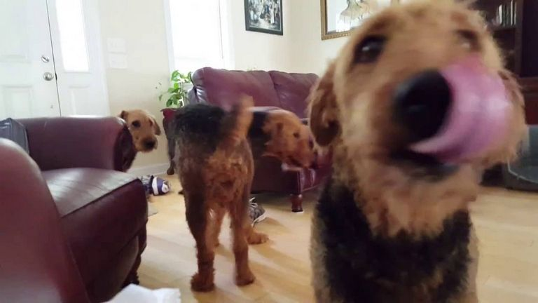 Airedale Terrier For Sale Nc