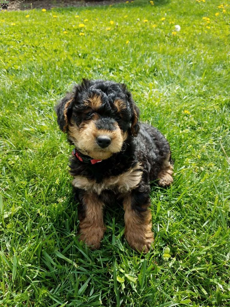 Airedoodle Puppies For Sale In Michigan | Top Dog Information