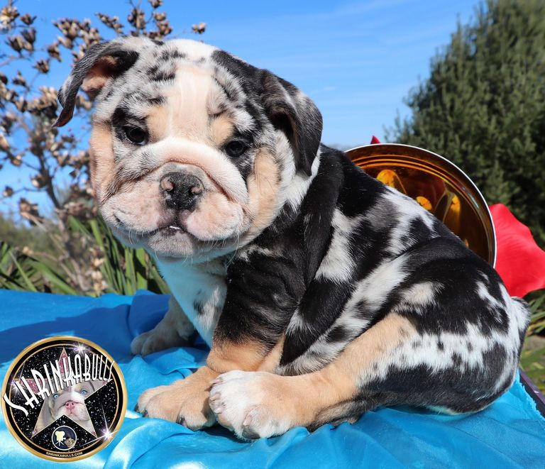 Akc English Bulldog Colors