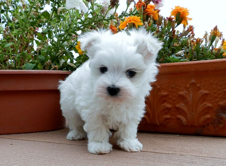 Akc Maltese Puppies For Sale Near Me