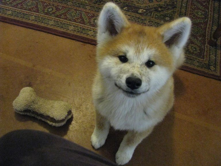 Akita Puppies For Sale In Texas