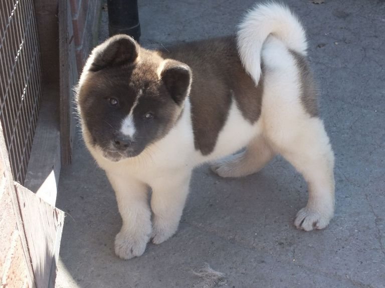 Akita Puppy For Sale Top Dog Information