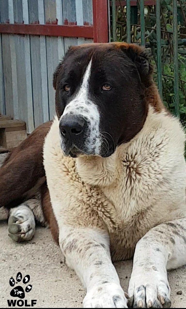 Alabai Dog Size