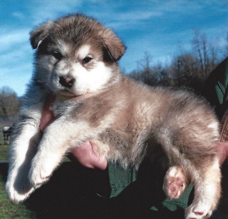 Alaskan Malamute Puppies Craigslist