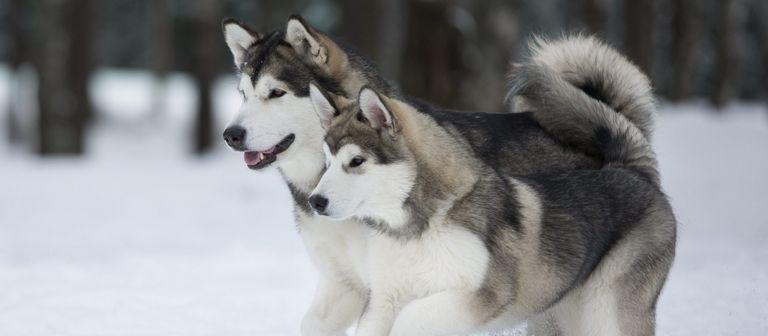 Alaskan Malamute Puppies For Sale Under $300