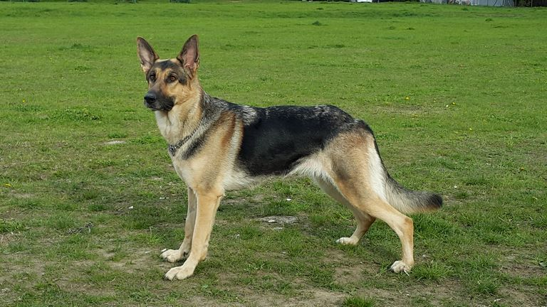 All German Shepherd Breeds