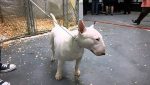 All In Kennels Bull Terrier