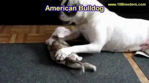 American Bulldog Puppies Craigslist