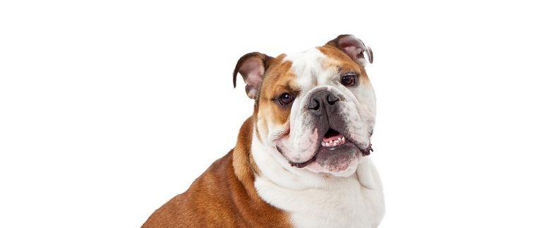 American Bulldog Rescue Oklahoma