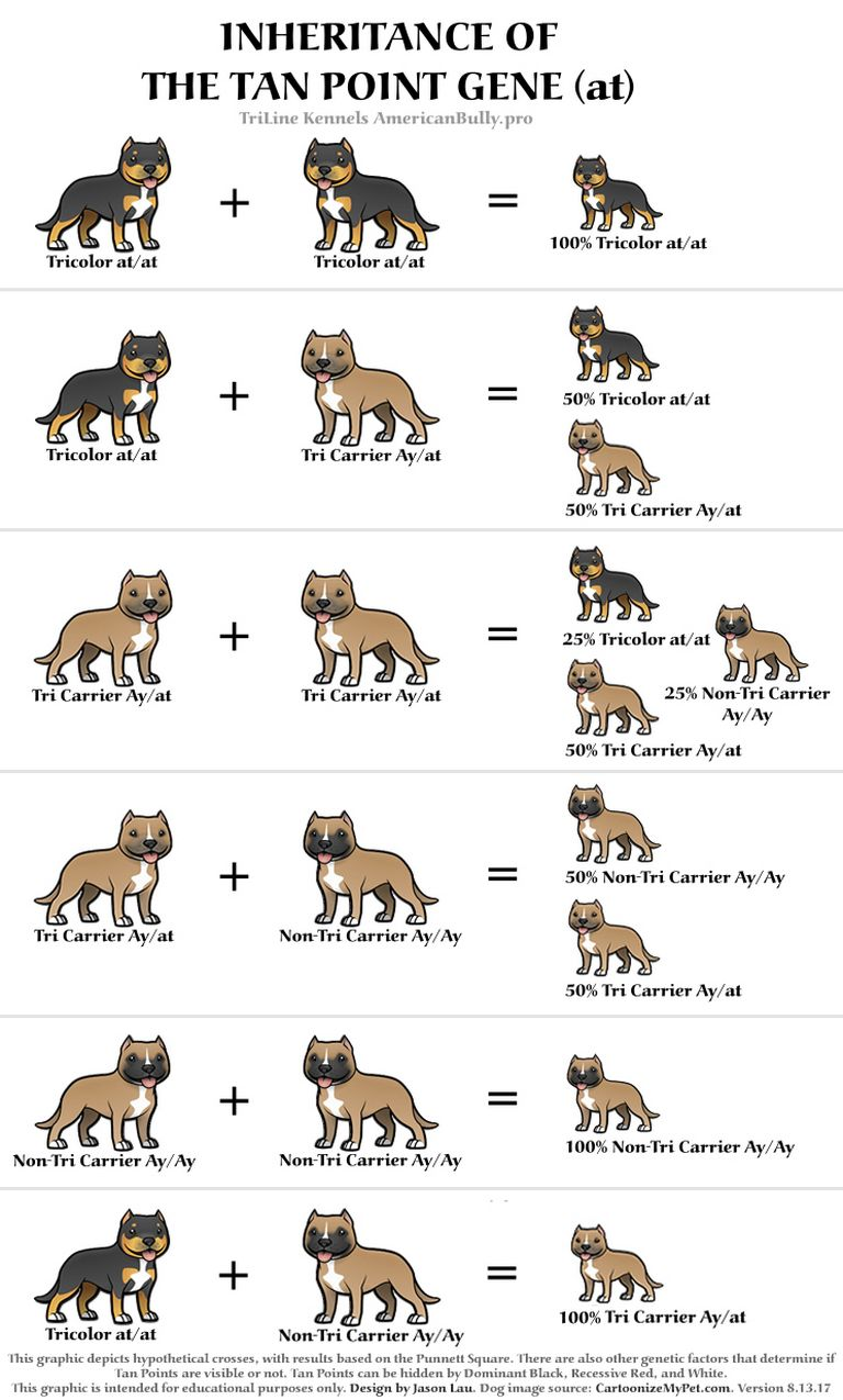 American Bully Breeding Color Chart