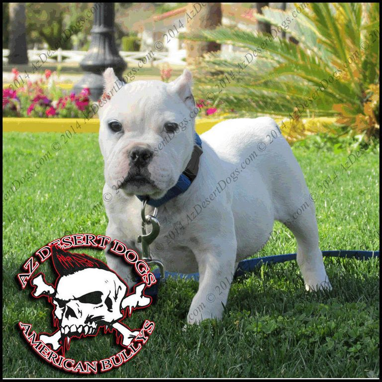 American Bully Kennels In Nc