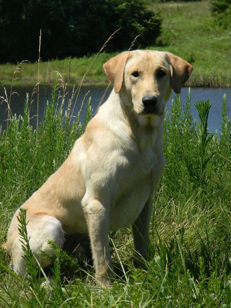 American Labrador Retriever Breeders