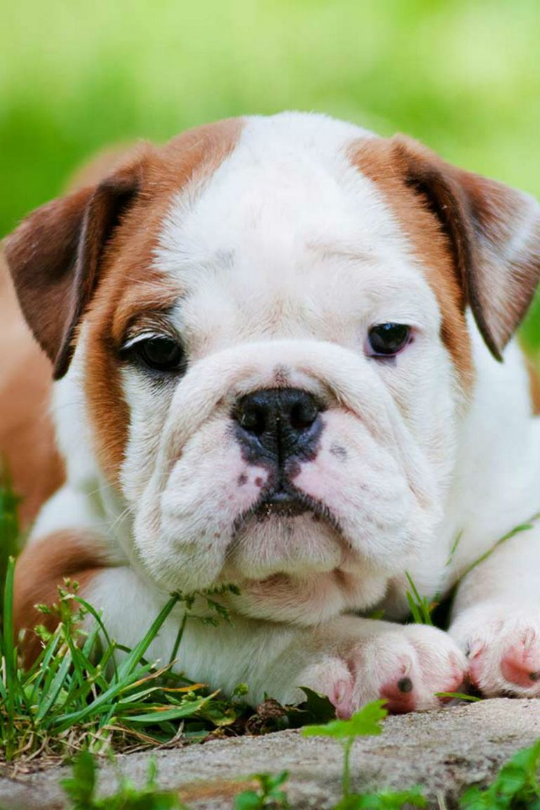 Annual Cost Of Owning An English Bulldog