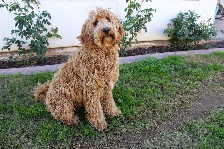 Are Labradoodles Good For Seniors
