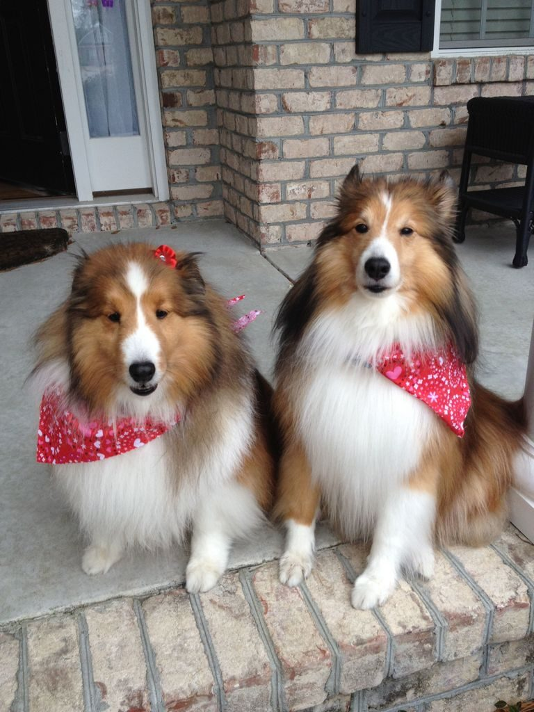 Ausome Shelties