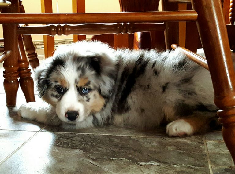 Aussie Puppies For Sale In Indiana