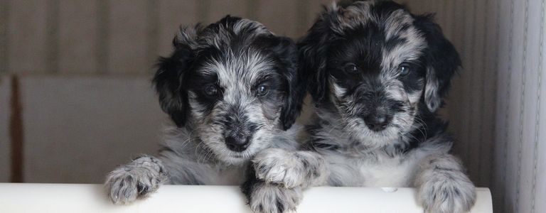 Aussiedoodle For Sale Northern California