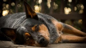 Australian Cattle Dog Temperament