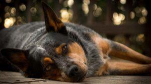 Australian Cattle Dog Temperament