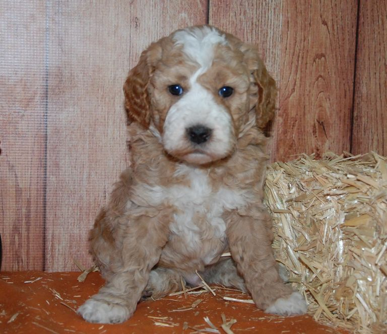 Australian Goldendoodle Puppies For Sale