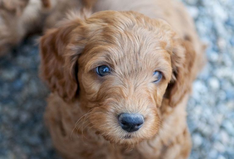 Australian Labradoodle Puppies For Sale Near Me