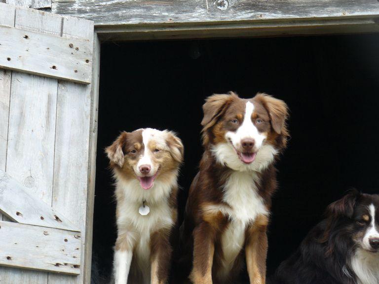 Australian Shepherd Breeders New England