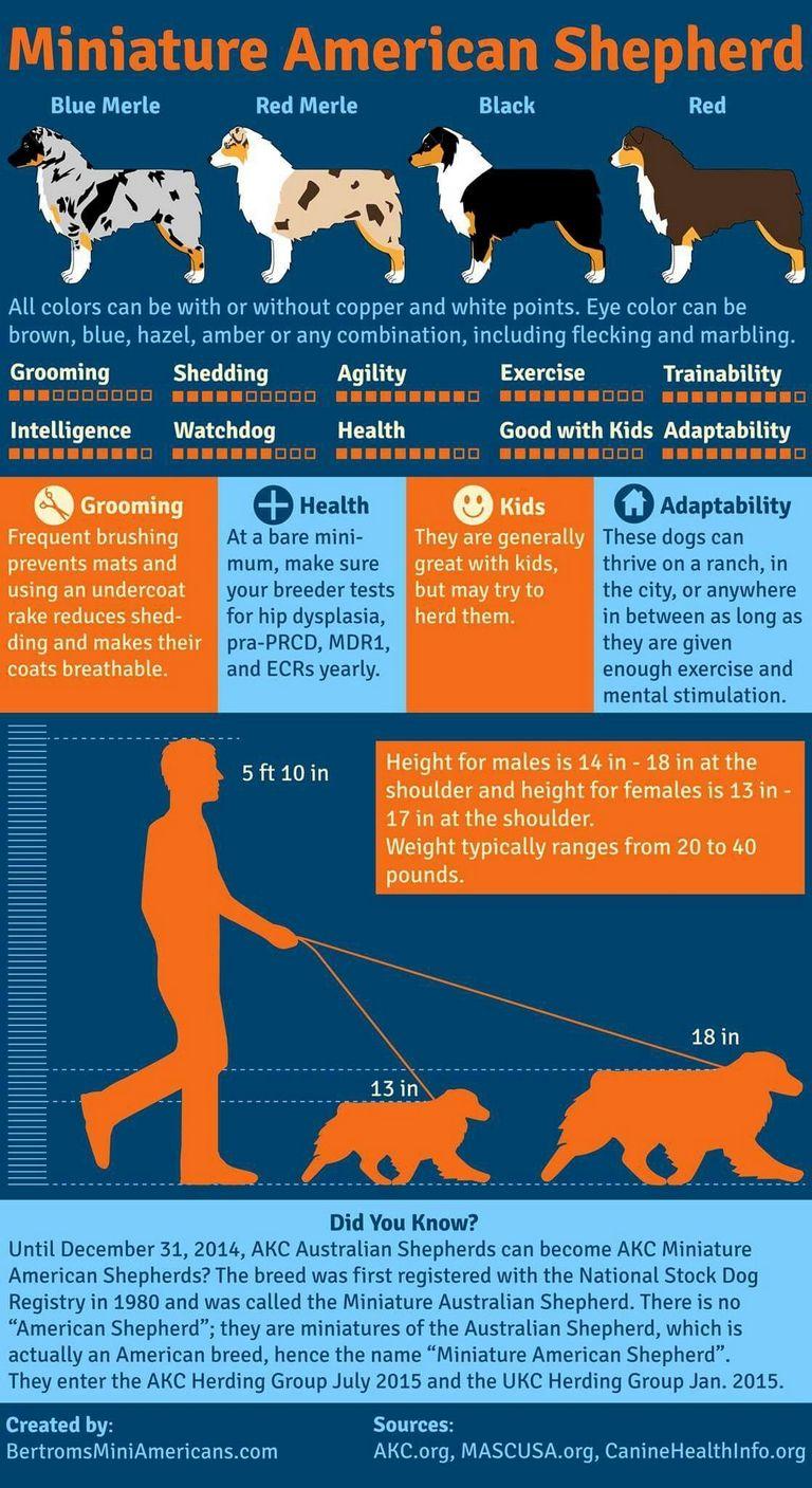Australian Shepherd Height Chart | Top Dog Information