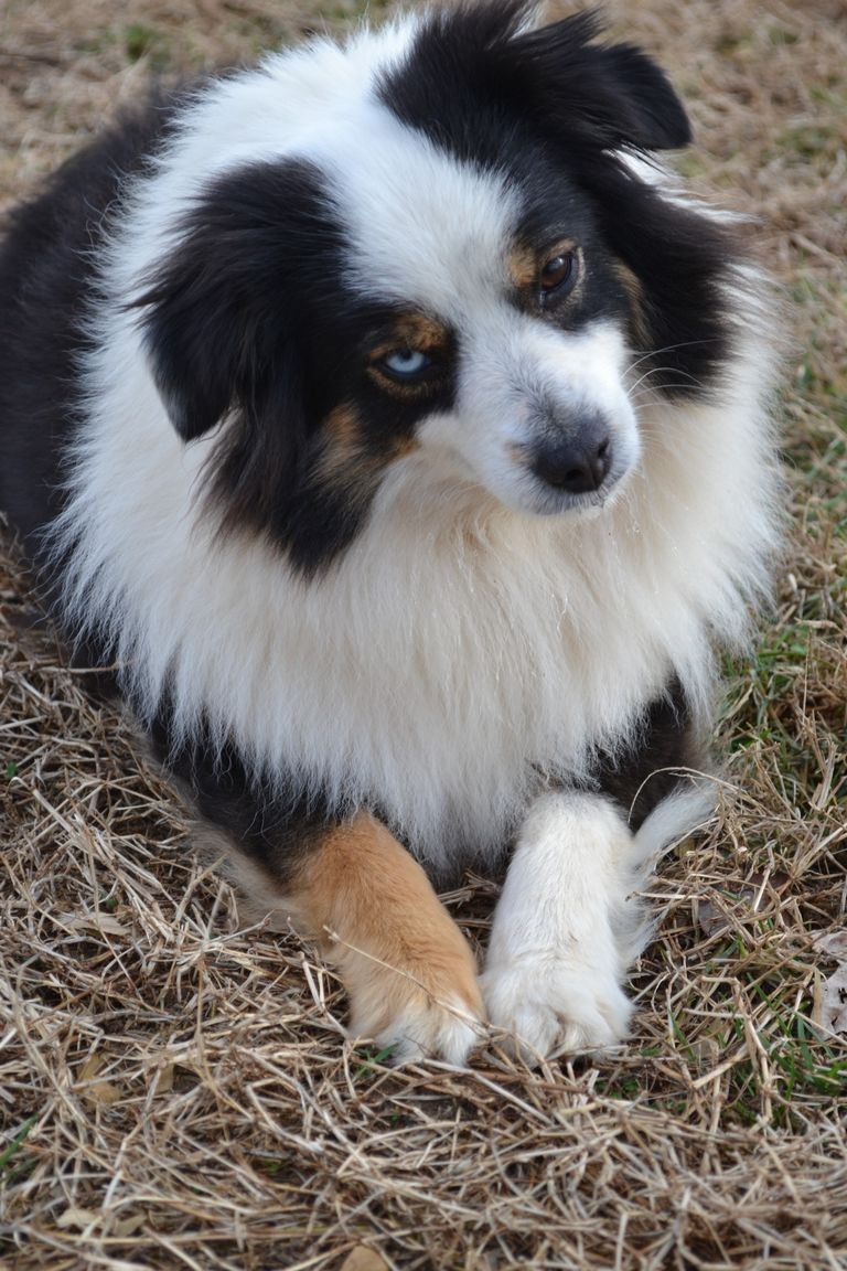 Australian Shepherd Puppies For Sale Clarksville Tn