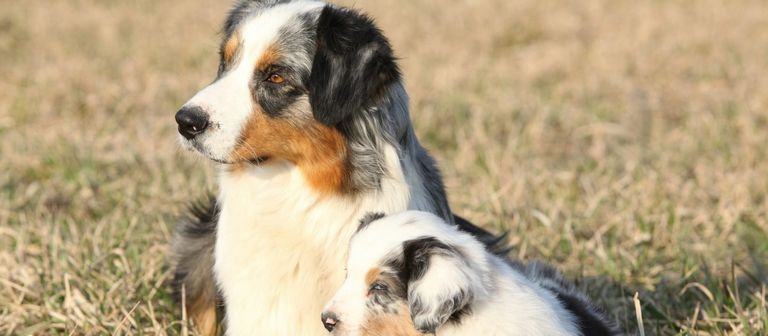 Australian Shepherd Puppies For Sale In Ky Craigslist