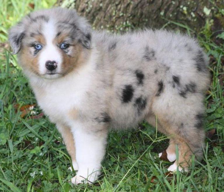 Australian Shepherd Puppies Jacksonville Fl