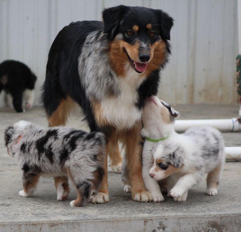 Australian Shepherd Puppies Knoxville Tn