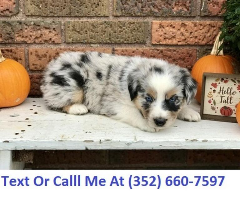 Australian Shepherd Puppies San Antonio Texas