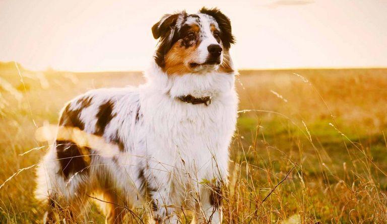 Australian Shepherd Puppy For Sale (1)