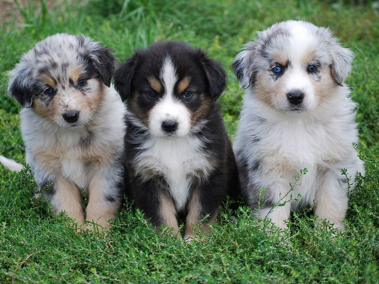 Australian Shepherd Rescue California