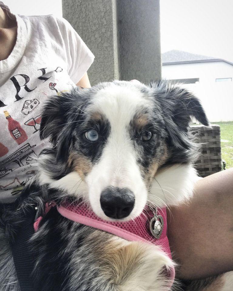 Australian Shepherd Rescue Florida Tampa (1)