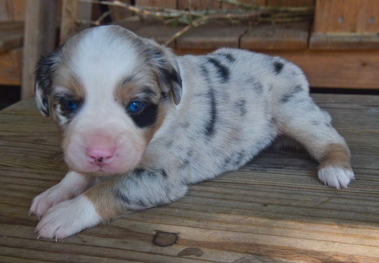 Australian Shepherd Rescue Louisiana