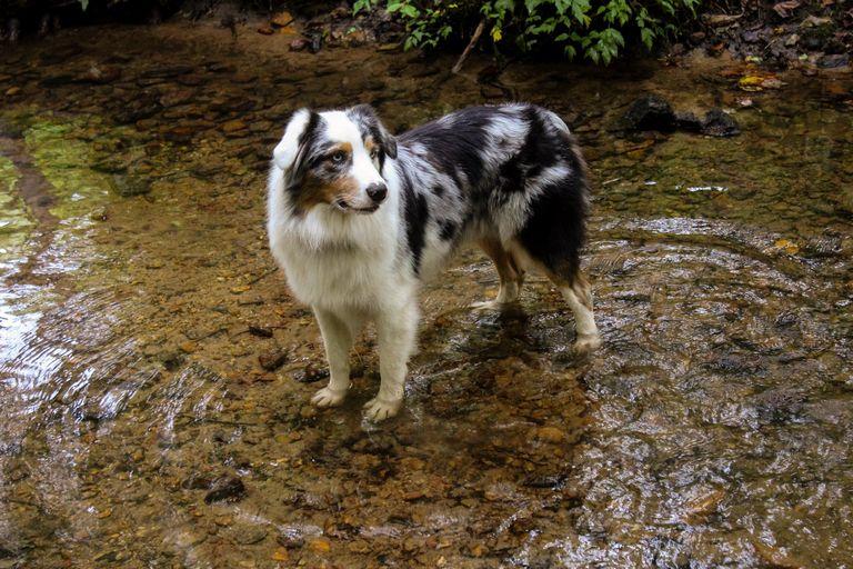 Australian Shepherd Rescue Nc (1)