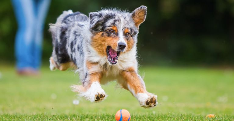 Australian Shepherd Temperament (1)