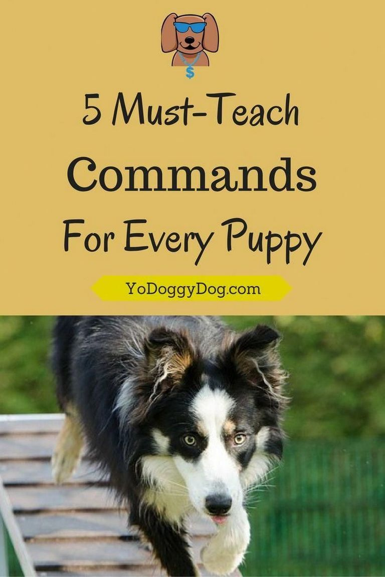 Australian Shepherd Training Commands