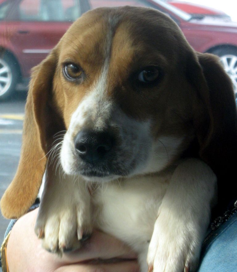 Available Beagles (1)