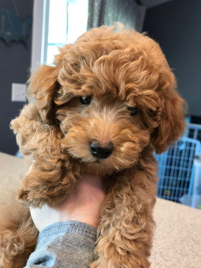Available Goldendoodle Puppies