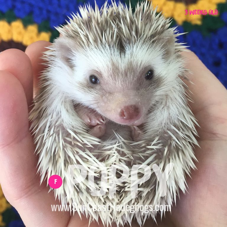 Available Hedgehogs